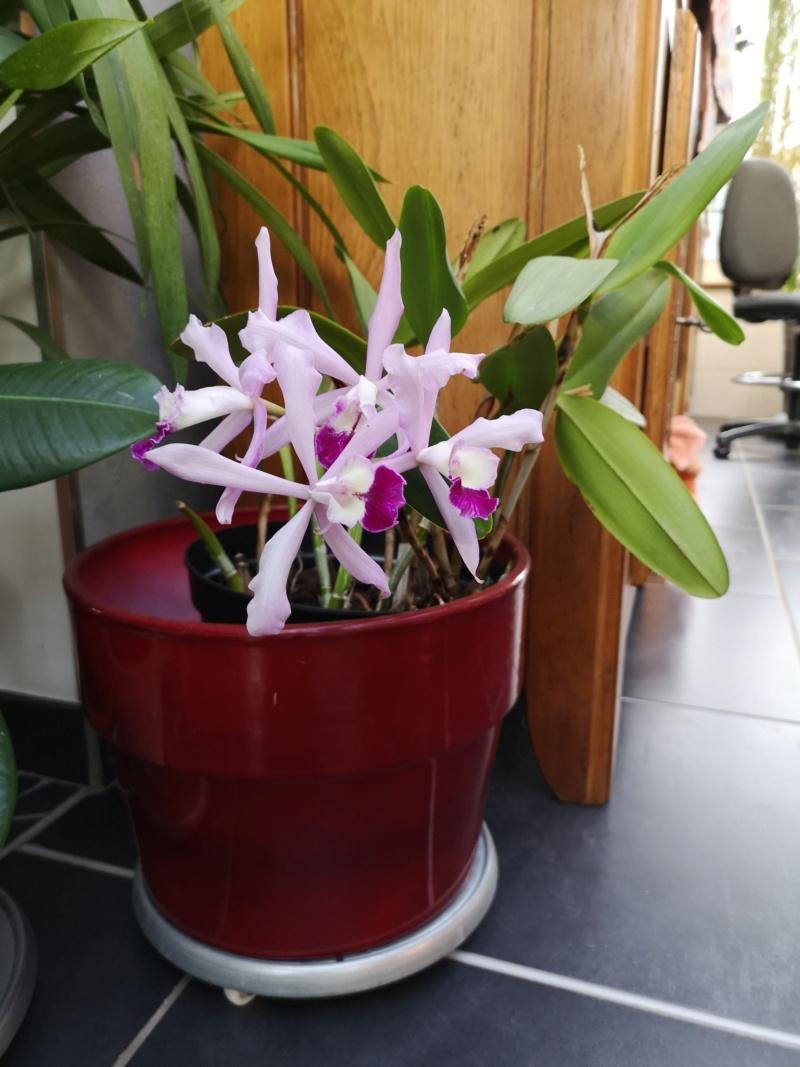cattleya intermedia Laelia purpurata - Page 5 Img_2581