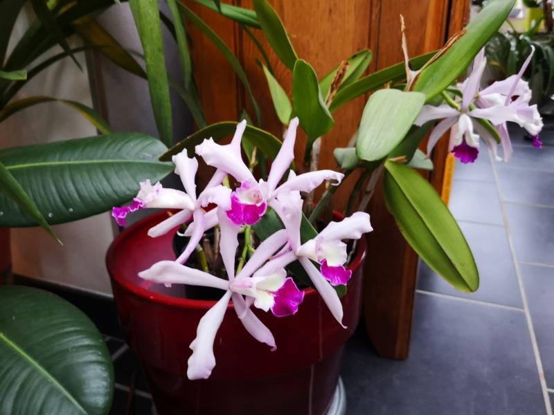 cattleya intermedia Laelia purpurata - Page 5 Img_2589