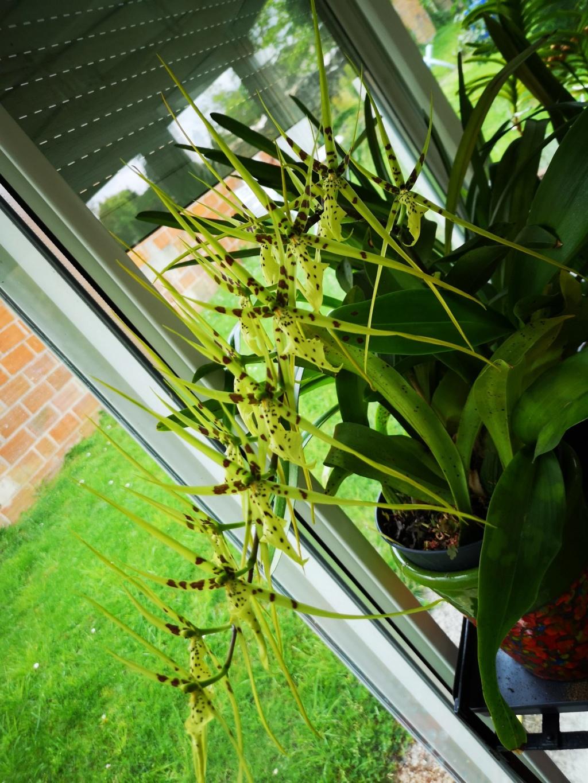 Odontoglossum maclellanara Img_2595
