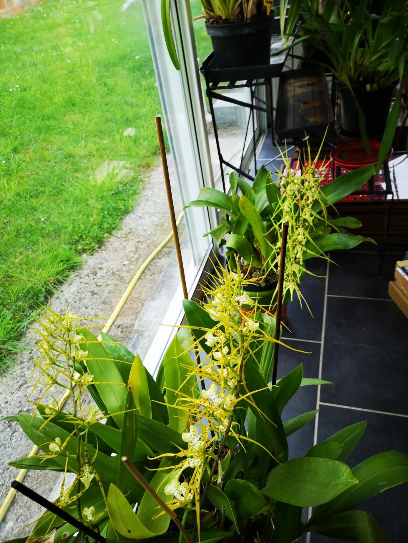 Odontoglossum maclellanara Img_2597