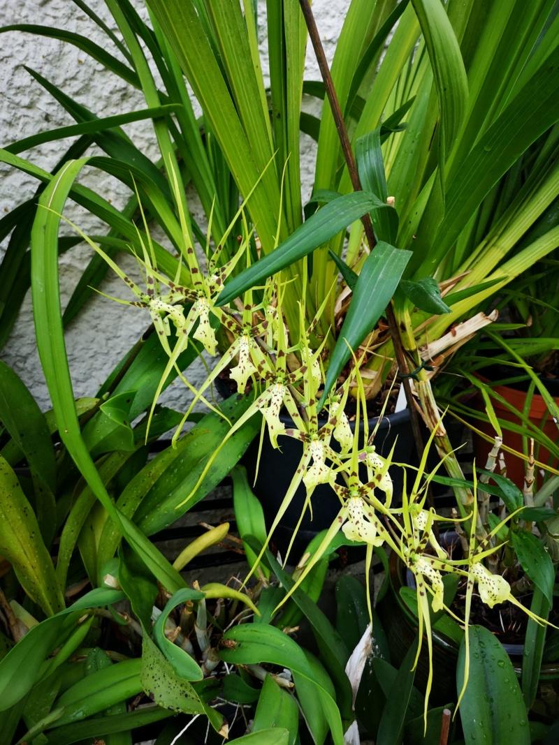 Odontoglossum maclellanara Img_2601