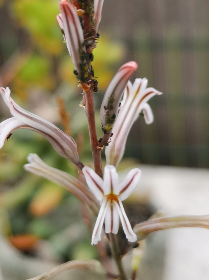 Quelques floraisons de succulentes Img_2609