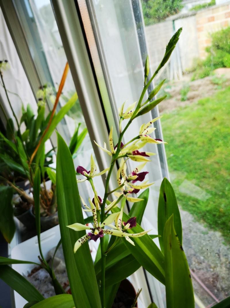 Encyclia prismatocarpa x cochleata Img_2614