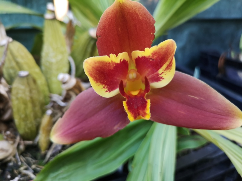 Lycaste macrophylla x Angulocaste red jewel - Page 2 Img_2655