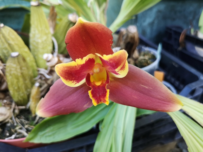 Lycaste macrophylla x Angulocaste red jewel - Page 2 Img_2656