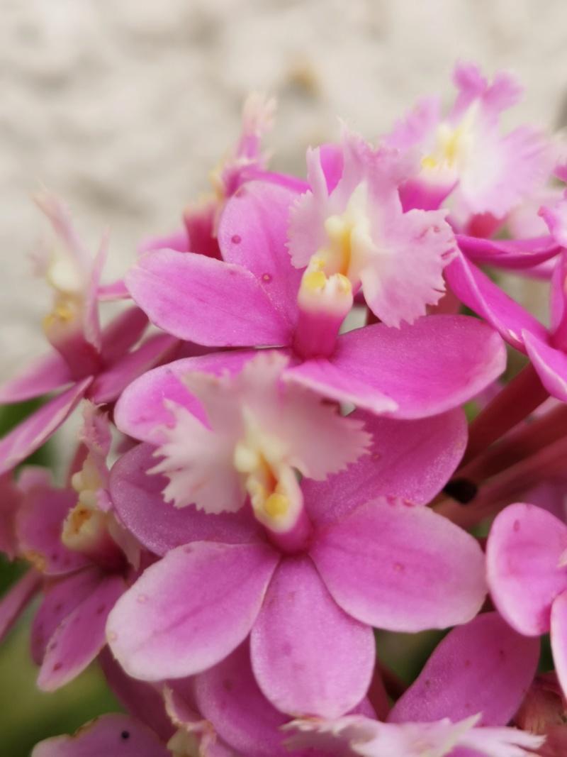 Epidendrum hybride volet clair Img_2662