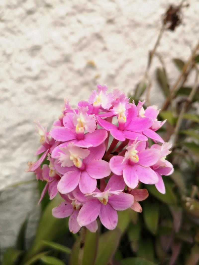 Epidendrum hybride volet clair Img_2663