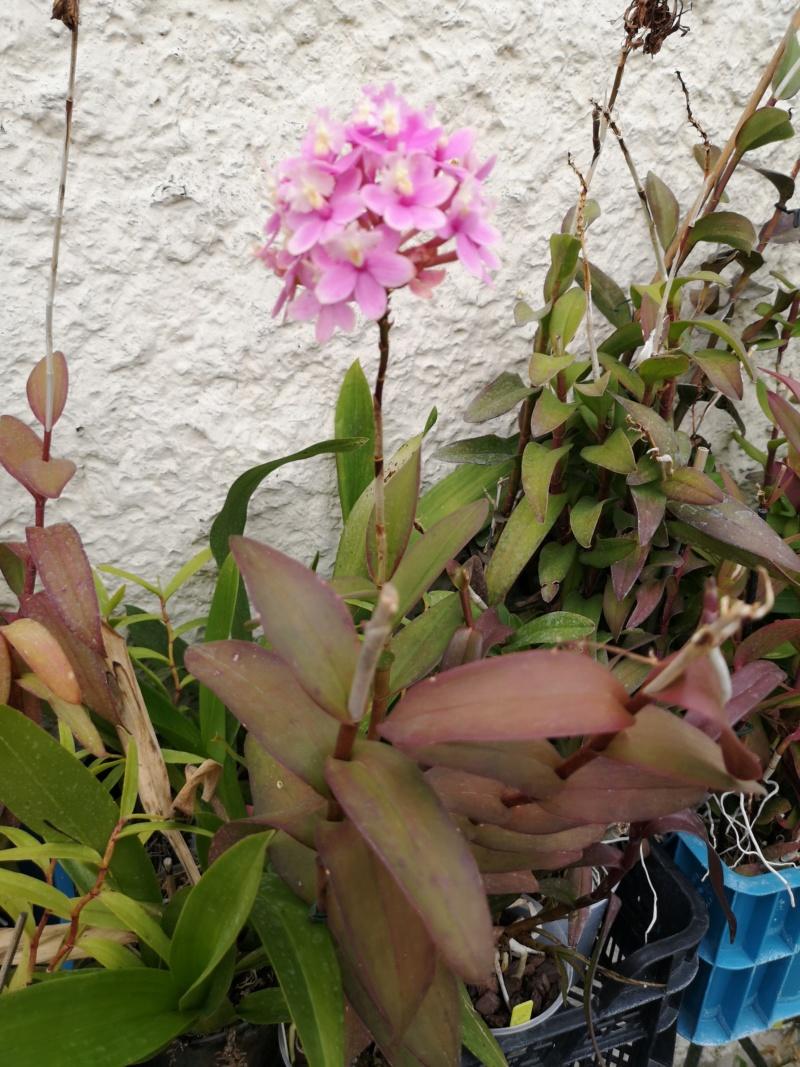 Epidendrum hybride volet clair Img_2664