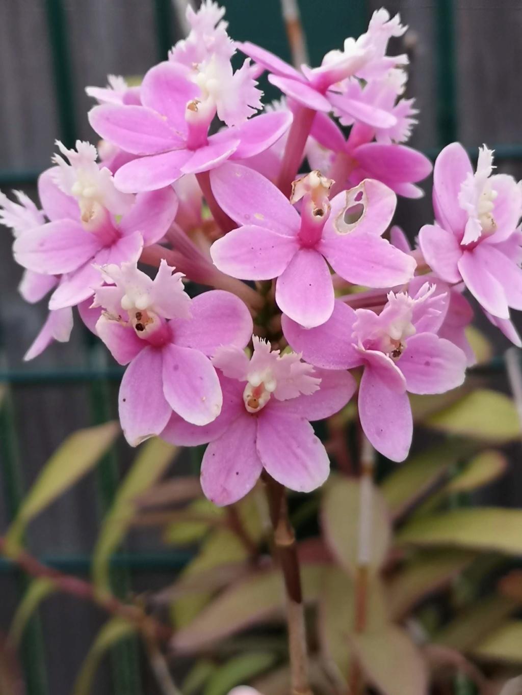 Epidendrum hybride volet clair Img_2695