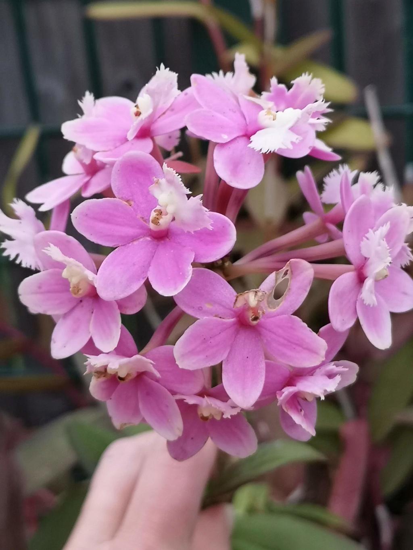 Epidendrum hybride volet clair Img_2698