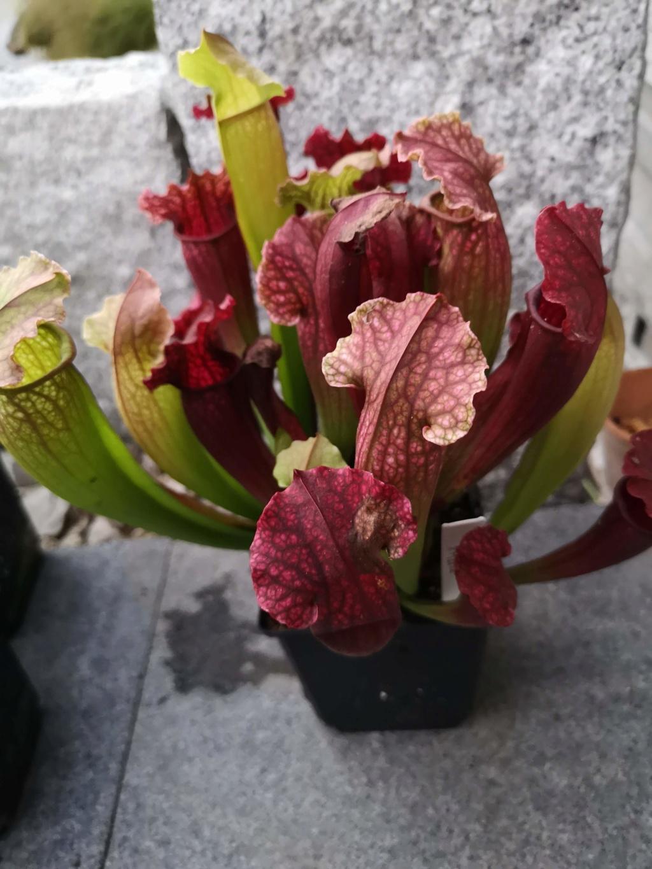 Mes dernieres plantes carnivores - château de Beauregard Img_2702