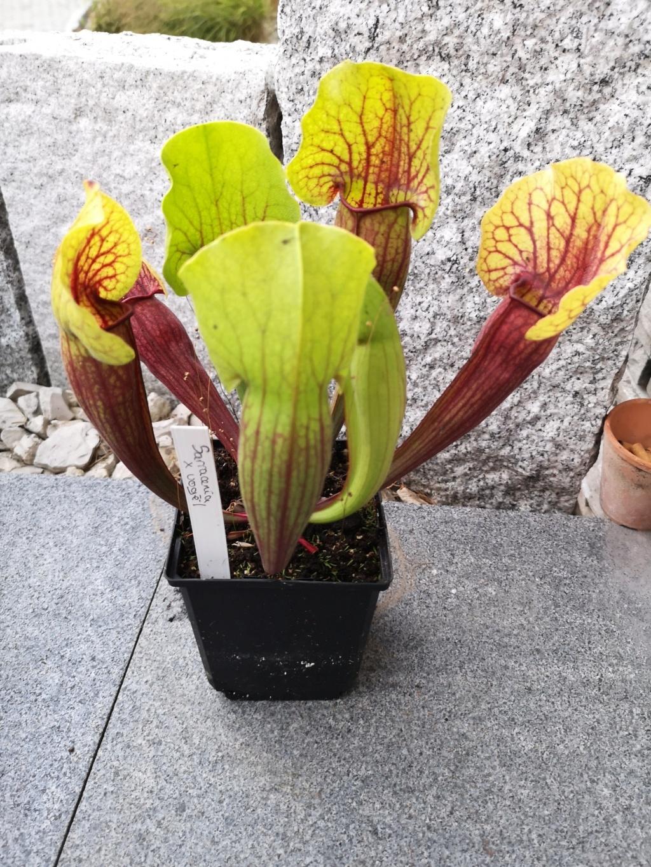 Mes dernieres plantes carnivores - château de Beauregard Img_2704