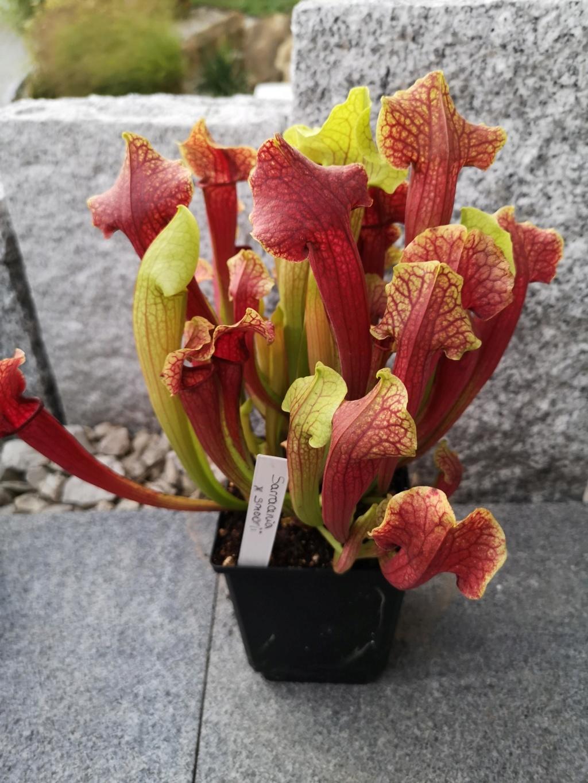 Mes dernieres plantes carnivores - château de Beauregard Img_2706