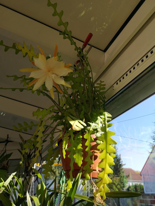 epiphyllum anguliger Img_2728