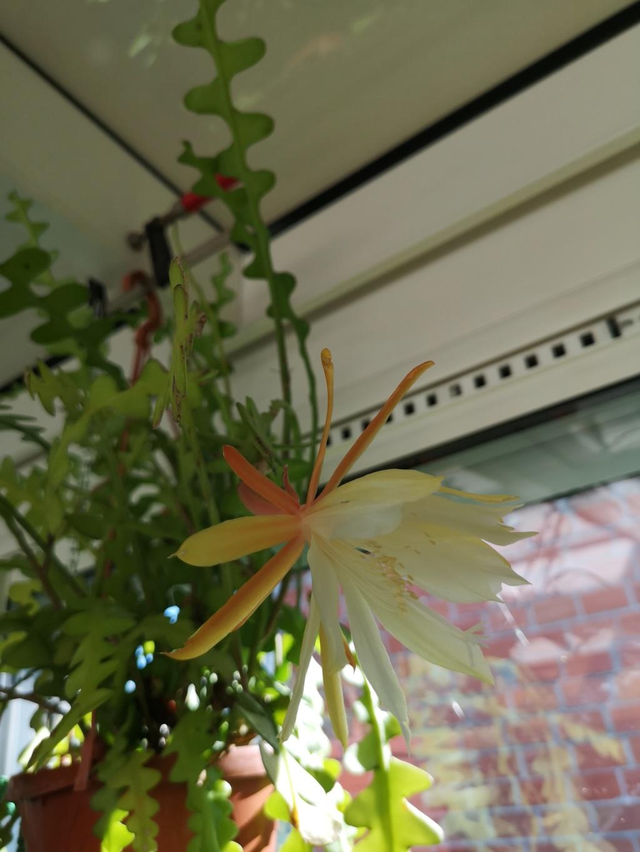 epiphyllum anguliger Img_2730