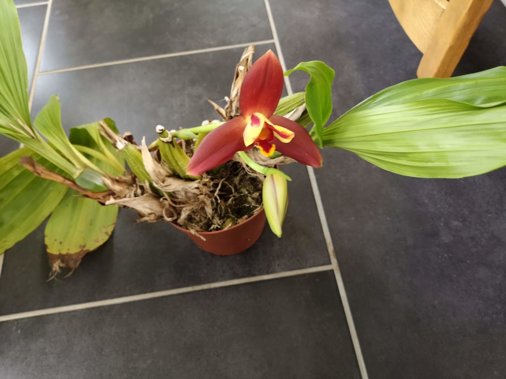 Lycaste macrophylla x Angulocaste red jewel - Page 2 Img_2749