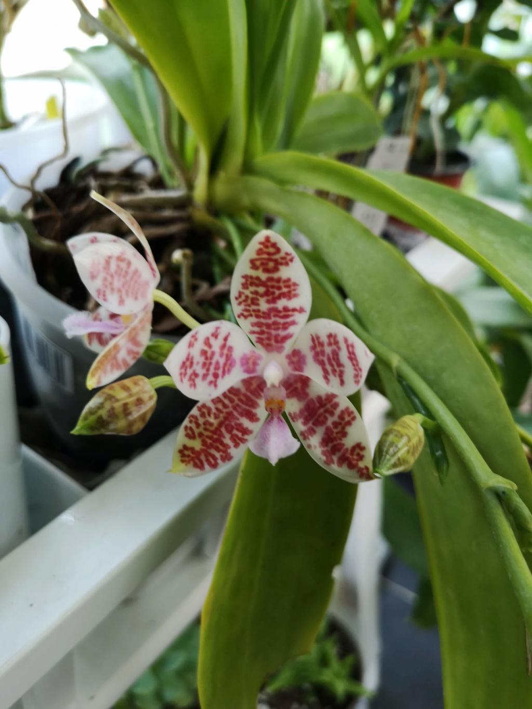 phalaenopsis Hieroglyphica x hieroglyphica Img_2755