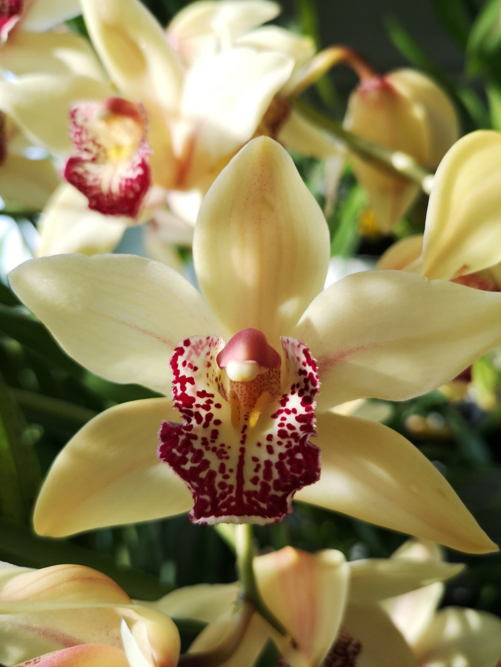 Cymbidium jaune labelle rouge Img_2763