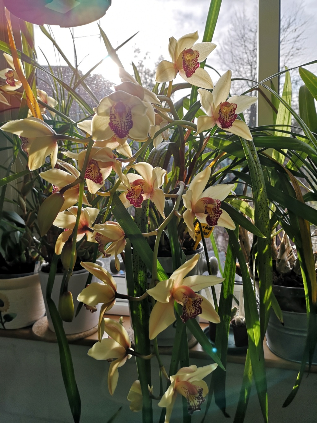 Cymbidium jaune labelle rouge Img_2764