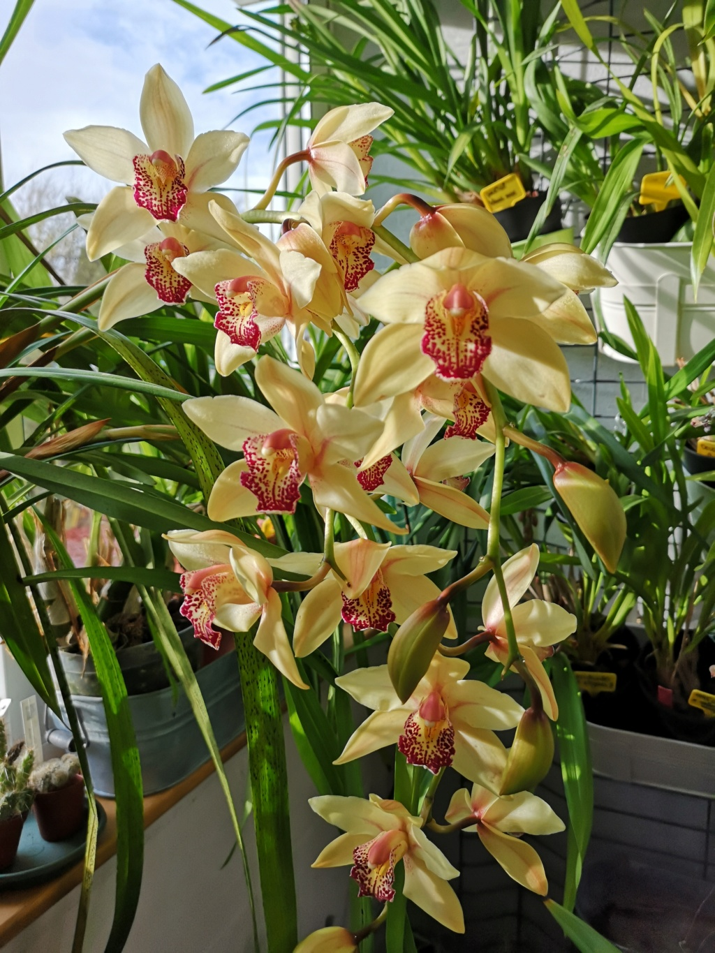 Cymbidium jaune labelle rouge Img_2765