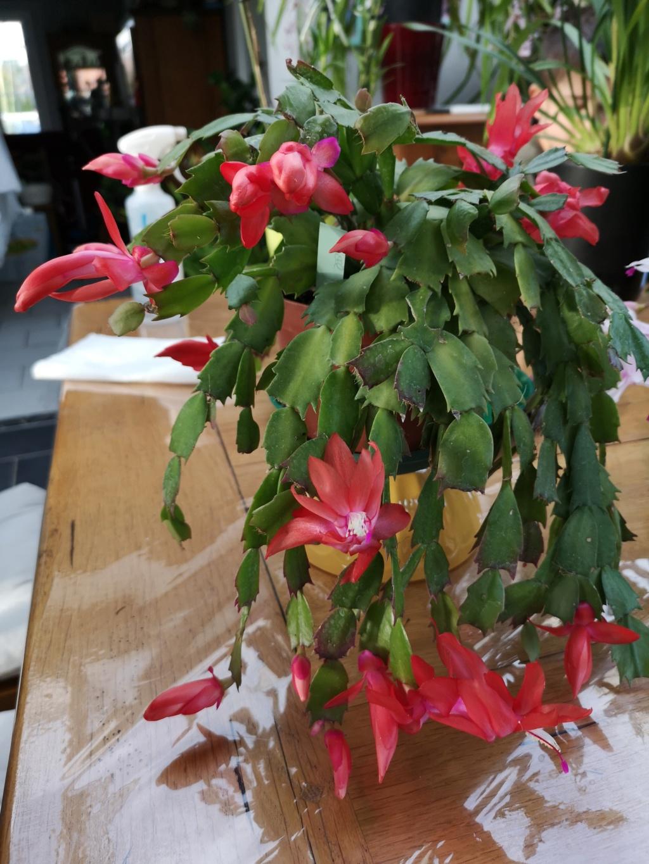 Cactus de Noël en fleurs Img_2778