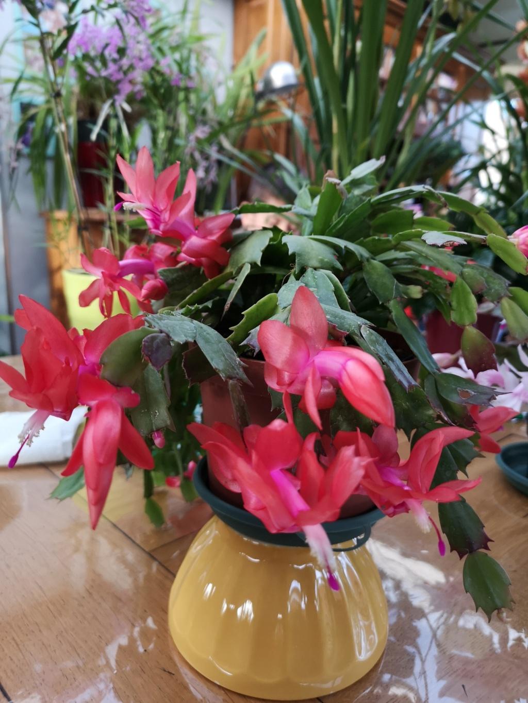 Cactus de Noël en fleurs Img_2780