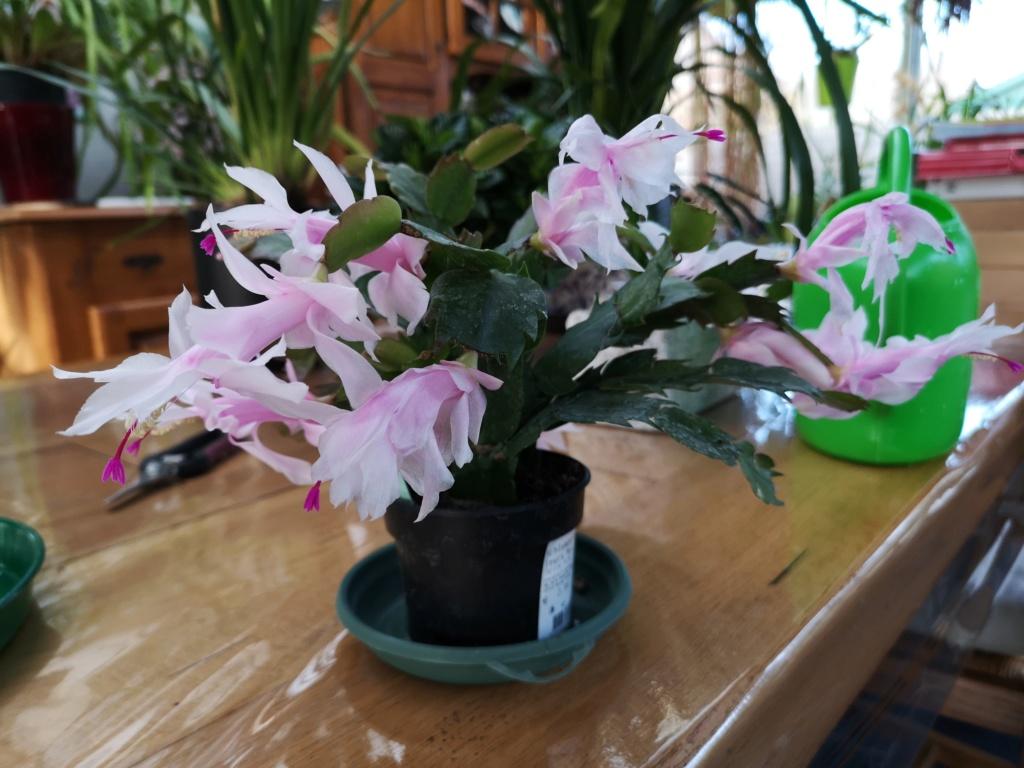 Cactus de Noël en fleurs Img_2781