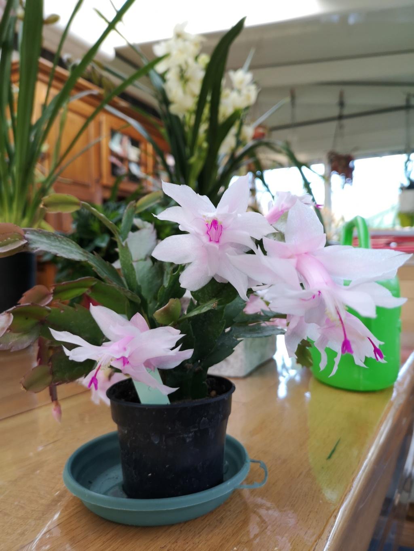 Cactus de Noël en fleurs Img_2782
