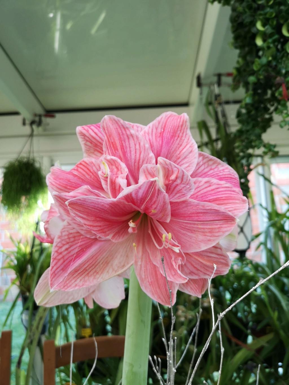 Amaryllis rose fleur double Img_2792