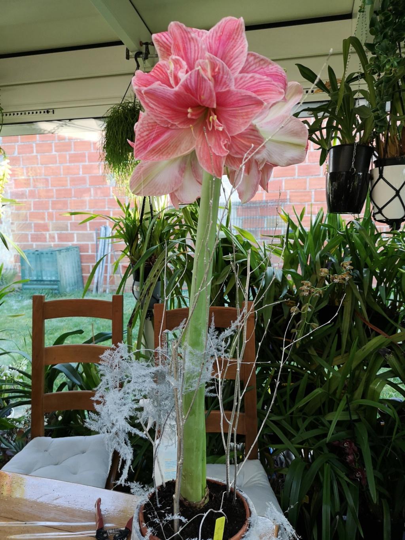 Amaryllis rose fleur double Img_2793