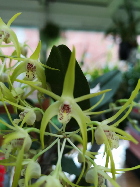 Dendrobium (speciosum x gracilicaule) x (speciosum x tetragonum) Img_2822