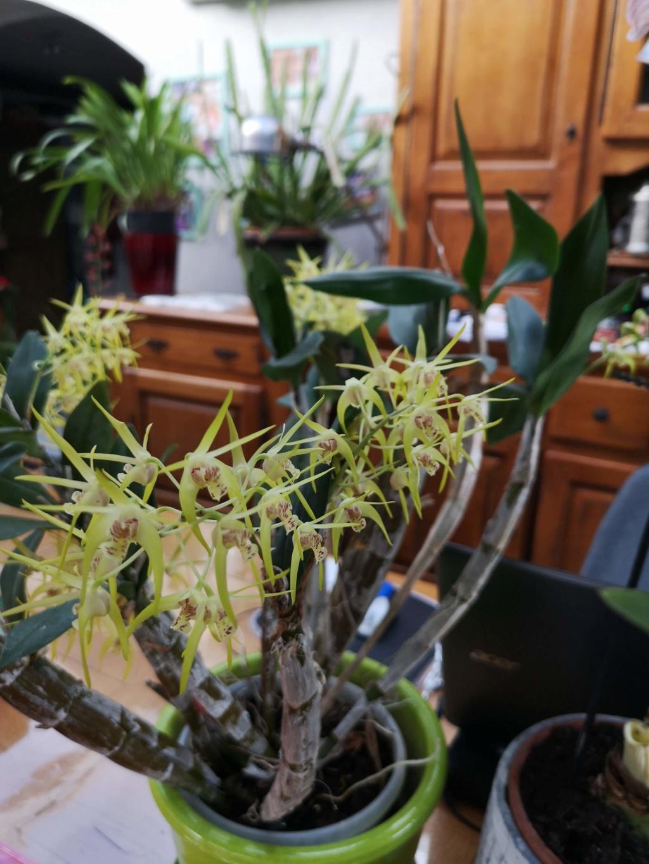 Dendrobium (speciosum x gracilicaule) x (speciosum x tetragonum) Img_2823