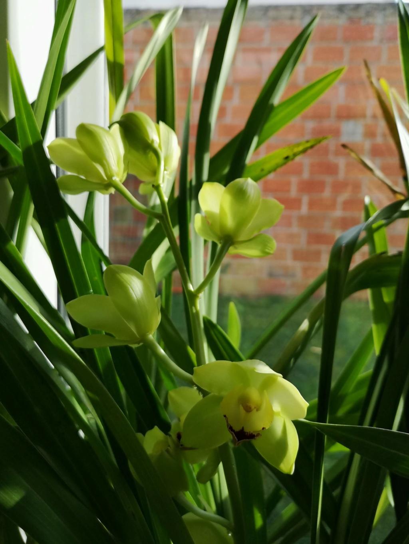 Cymbidium vert hybride Img_2829