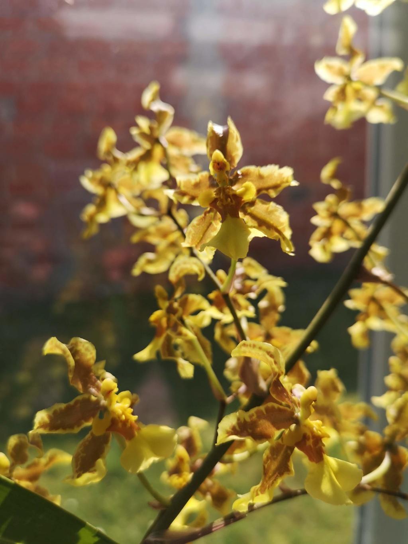 oncidium jacquinianum Img_2906