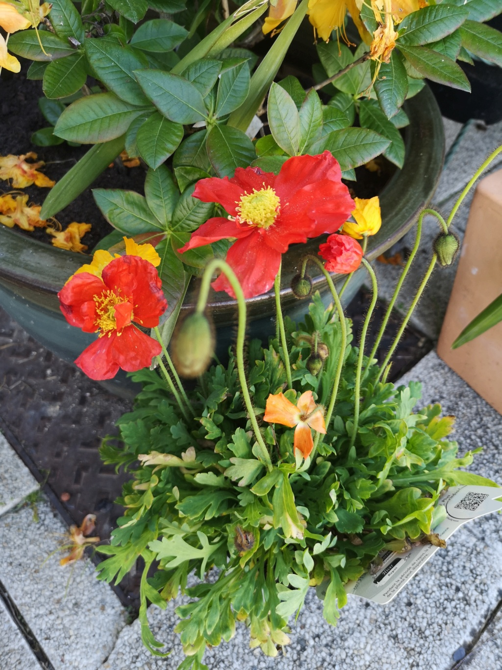 Mes pavots Img_2915