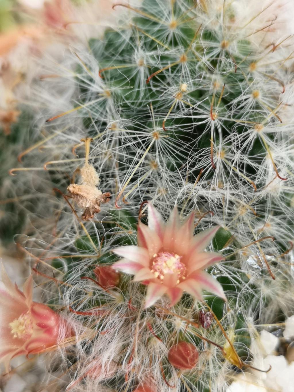 Floraisons cactus Img_2928