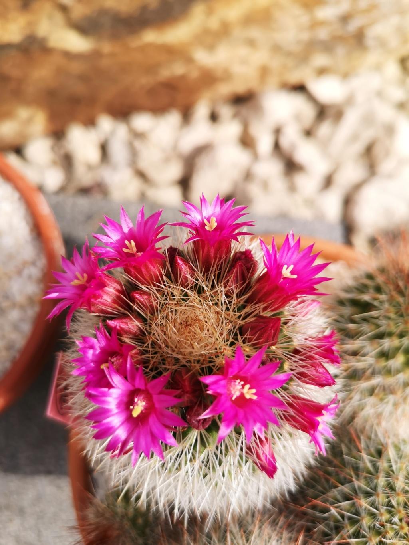 Floraisons cactus Img_2930