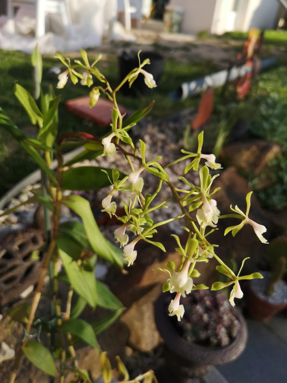 Epidendrum nuée verte  Img_2940