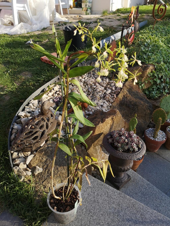 Epidendrum nuée verte  Img_2941