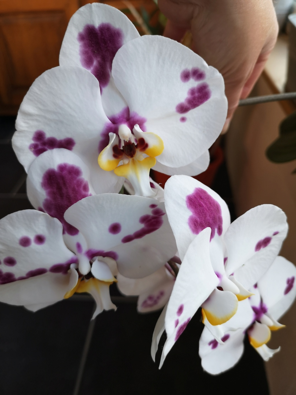 Bouquet de phalaenopsis... Img_2942