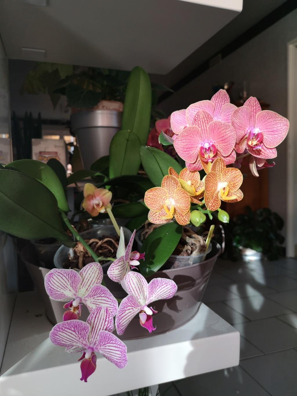 Bouquet de phalaenopsis... Img_2949