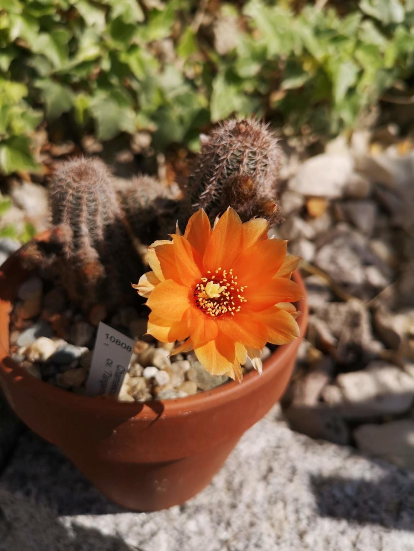 Floraisons cactus Img_2950