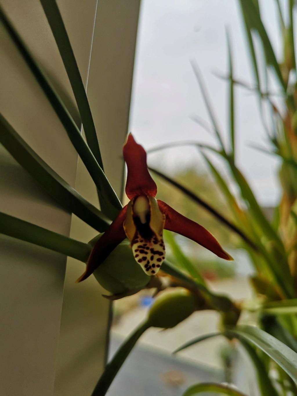 maxillaria tenuifolia - Page 2 Img_2960