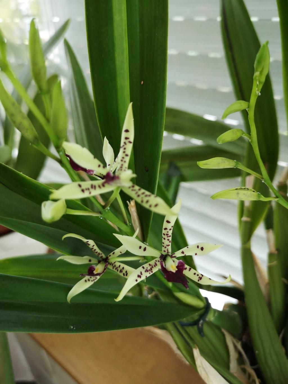 Encyclia prismatocarpa x cochleata Img_2977