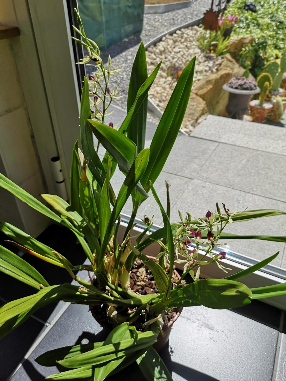Encyclia prismatocarpa x cochleata Img_2985