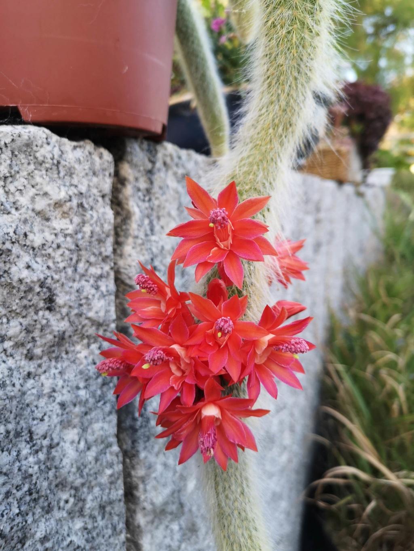 cleistocactus colademonis Img_2989