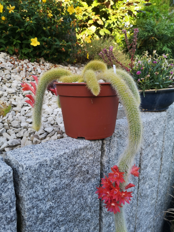 cleistocactus colademonis Img_2990