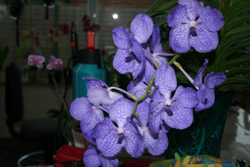 ascocenda  ...petite surprise !! bleu visiblement !! - Page 5 Img_7334