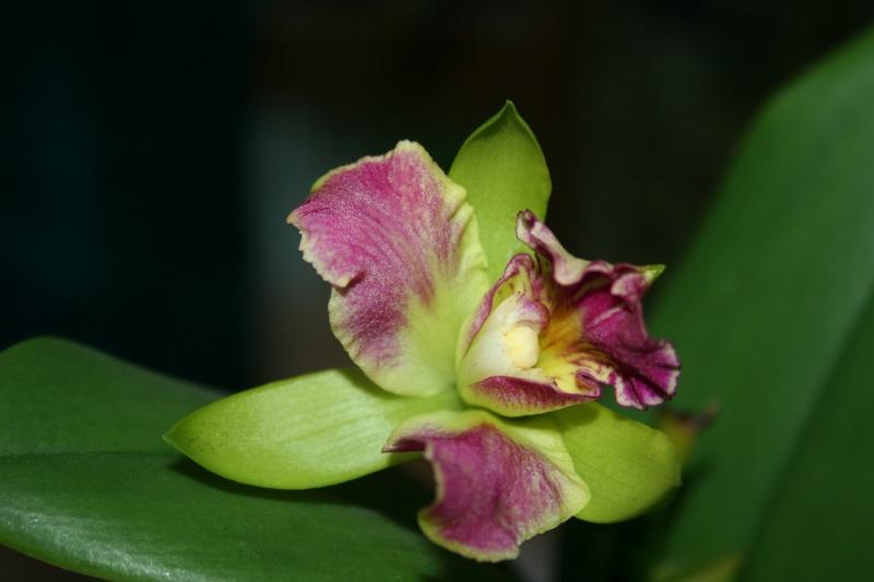 cattleya vert / violet Img_7414