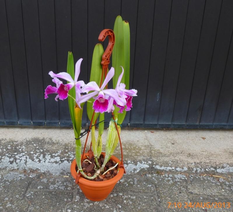 Cattleya purpurata - Seite 4 P1000510